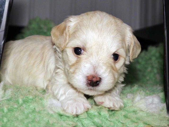 Bichon Havanais Puppy Kalle