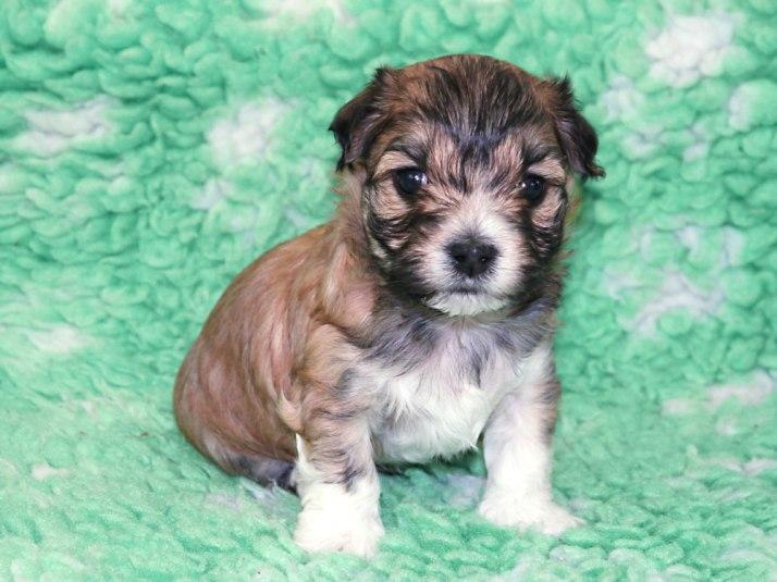 Bichon Havanais puppy Aslan