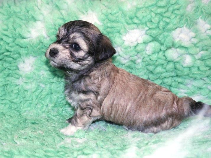 Bichon Havanais puppy Mynta