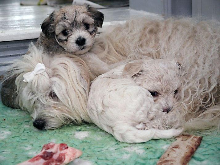 Bullen och Kalle vilar hos mamma Scila