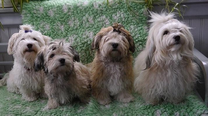Bichon Havanais puppies Calle, Mynta, Aslan och Scilla