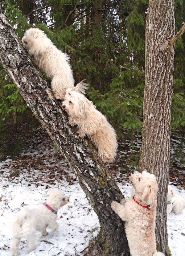Bichon havanais climbing tree