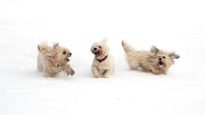 Bichon Frisé running in snow
