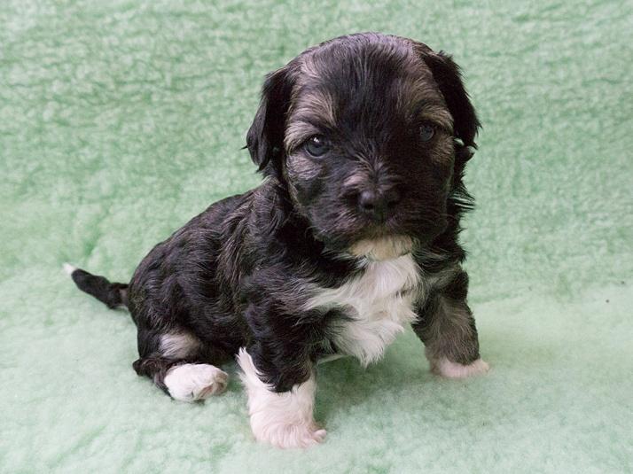 Krasse, Bichon Havaniis puppy, 4 weeks