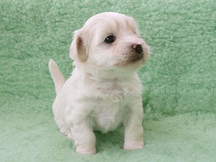 Socker, Bichon Havaniis puppy, 4 weeks