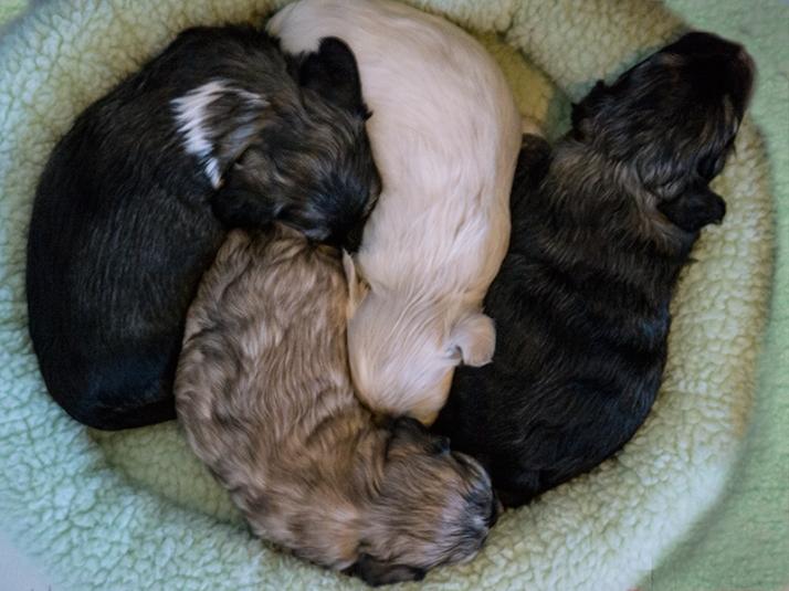Bichon Havaniis puppies asleep, 4 weeks