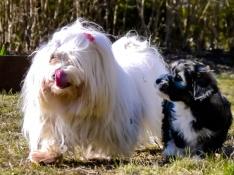 Malteser and Bichon Havanais puppy