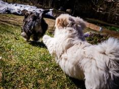 Bichon Havanais puppies from tatankas.se