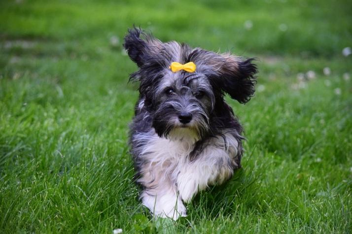 Malva - Bichon Havanais puppy 6 months old