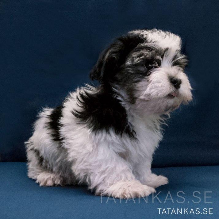 Ten weeks old Bichon Havanais puppy