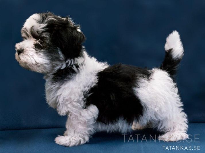 Bichon Havanais puppy 10 weeks