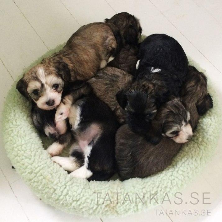 Bichon Havanais Puppies 5 weeks