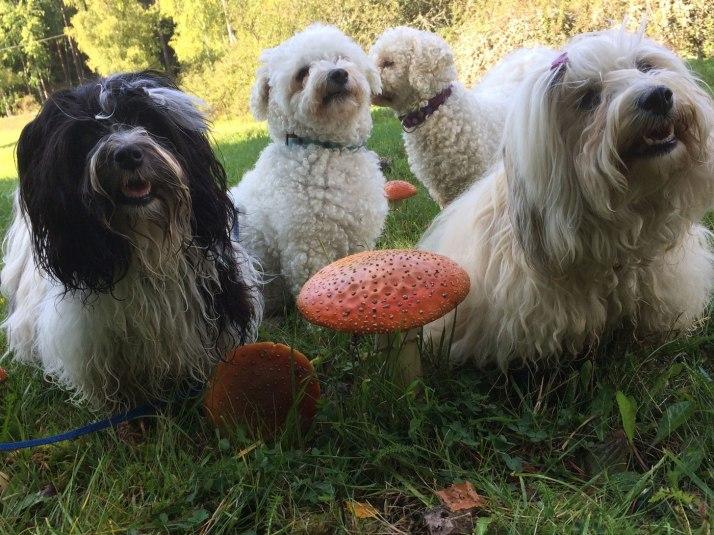 Hundar i svampskogen