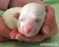 Bichon Havanais puppy Double White