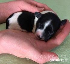 Bichon Havanais puppy Rebecka