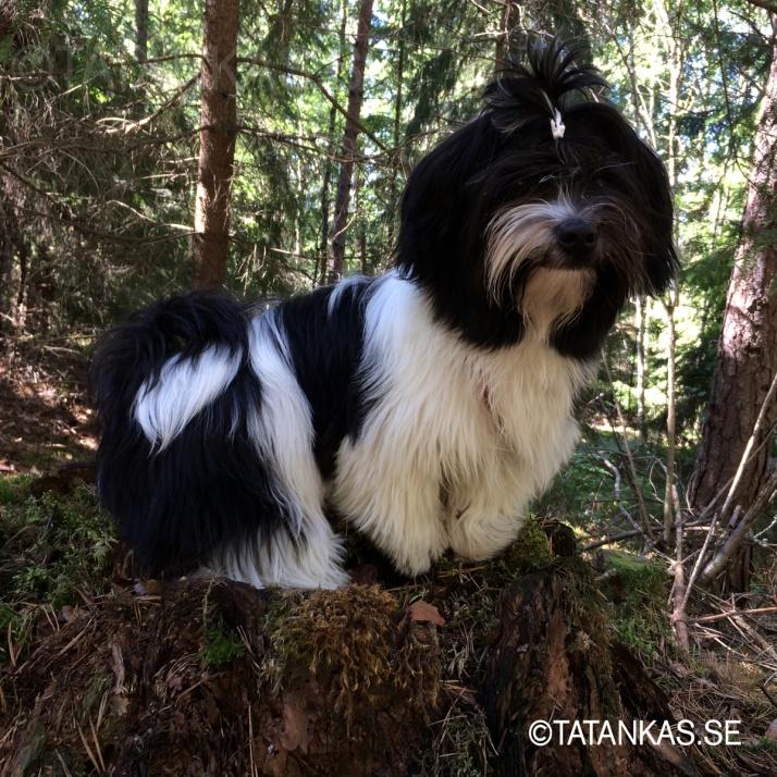 Beckie på en stubbe i skogen