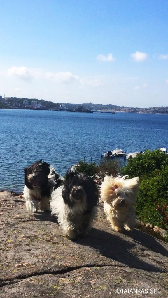 Näva, Beckie och Scilla på klipporna på västkusten