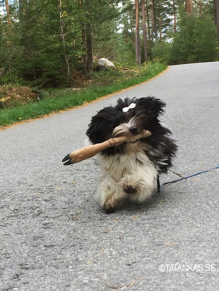 Bichon Havanais valp puppy