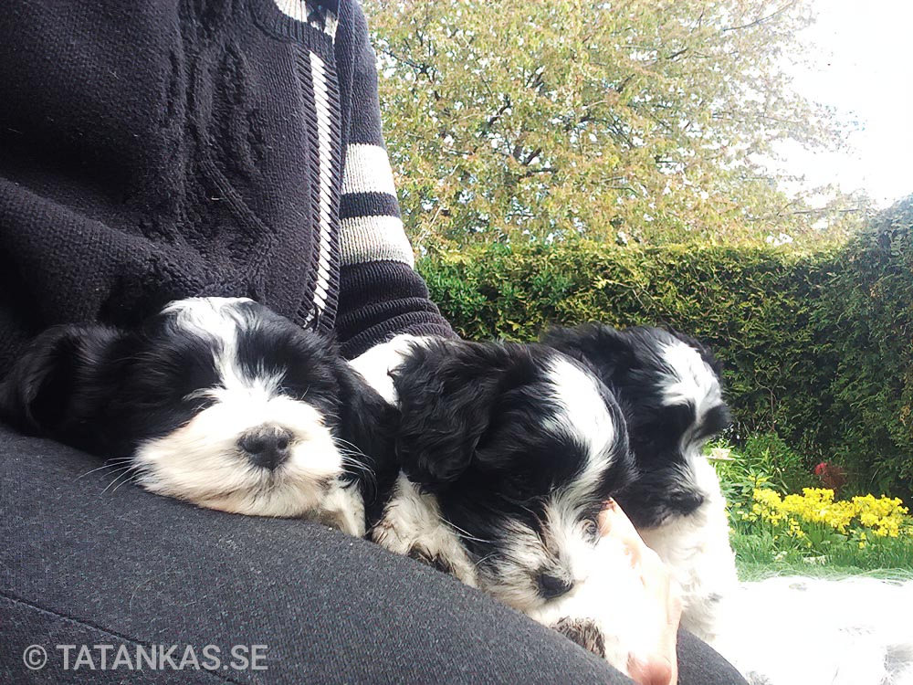 Bichon Havanais puppies