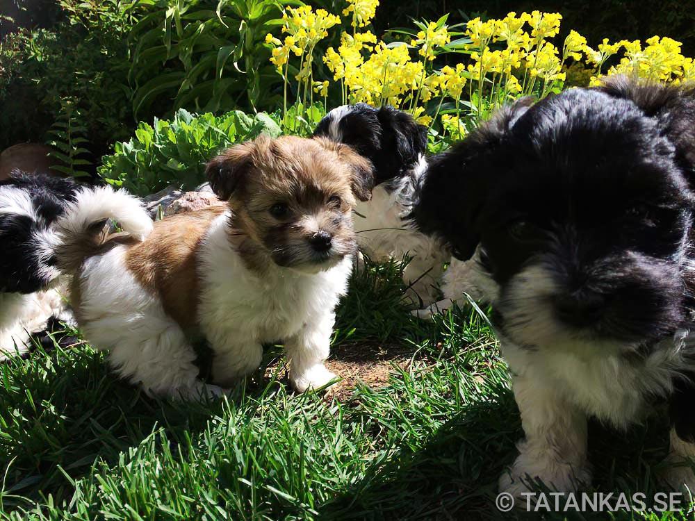 Bichon Havanais puppies
