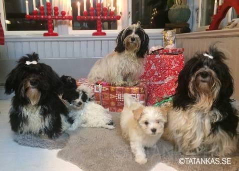 En julhälsning 2020 med hundar från Tatankas Kennel och valpar från G-kullen