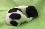 Example of black and white Bichon Havanais puppy, four days old