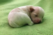 Example of a light and white Bichon Havanais puppy, four days old