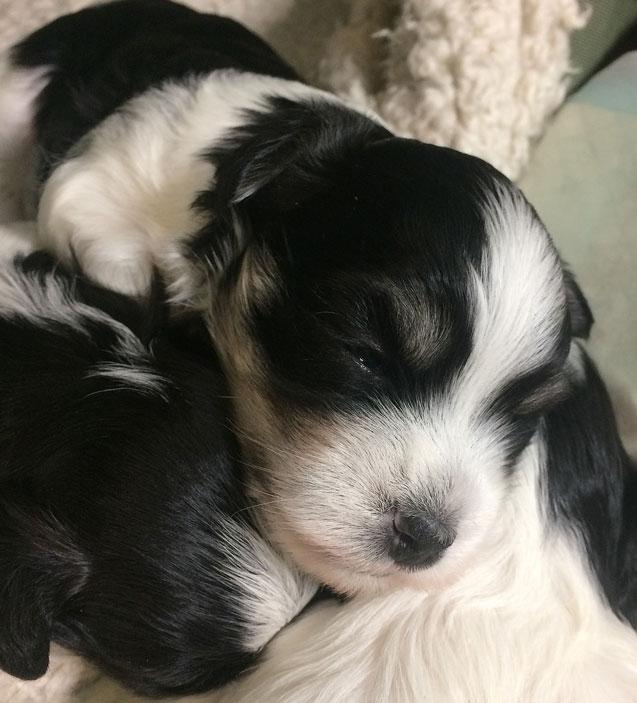 Bichon Havanais puppy valp sover med syskonen