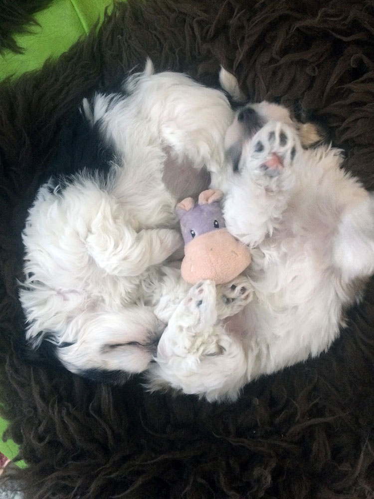 Bichon Havanais puppy valp yin och yang