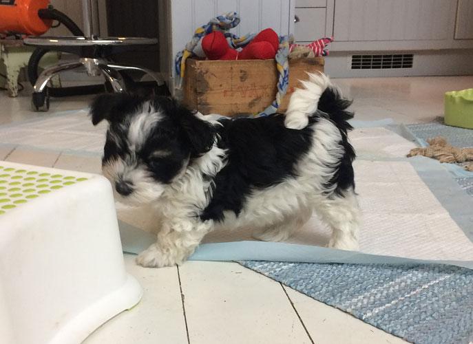 Bichon Havanais puppy valp i köket