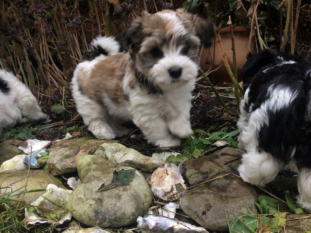 Bichon Havanais puppy valp funderar