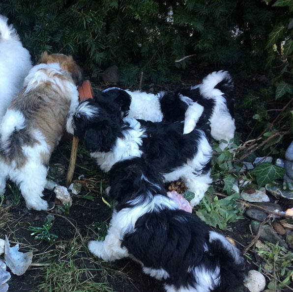 Bichon Havanais puppy valp i busken
