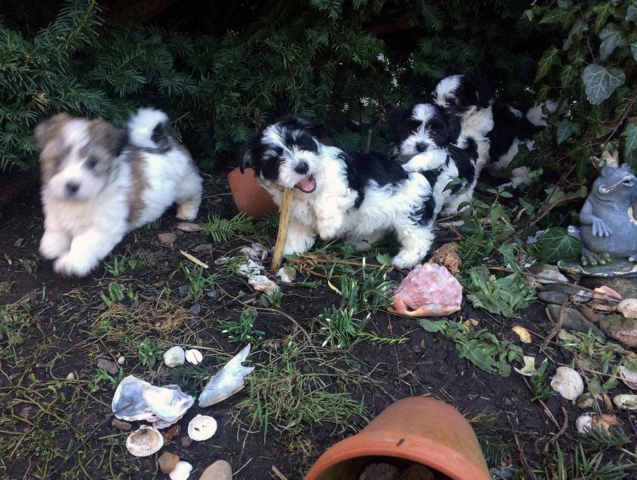 Bichon Havanais puppy valp på upptäcktsfärd