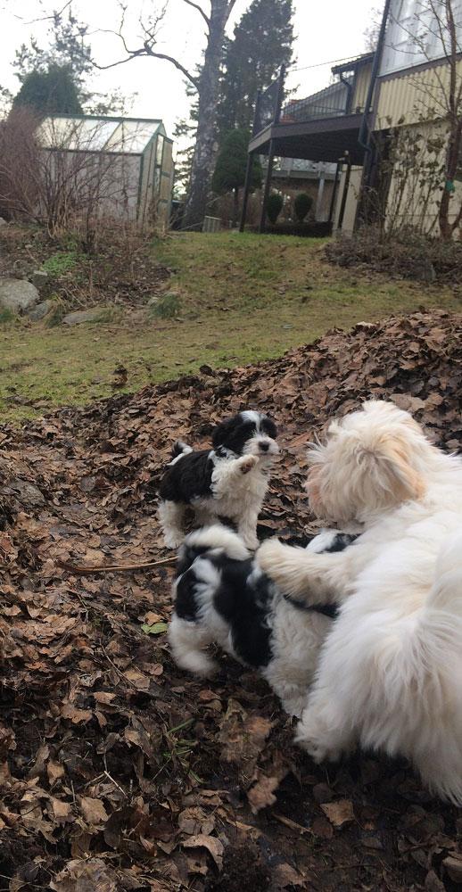 Bichon Havanais puppy valp med Fredde