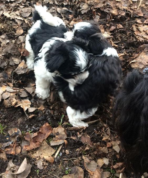 Bichon Havanais puppy valp bråkar och leker