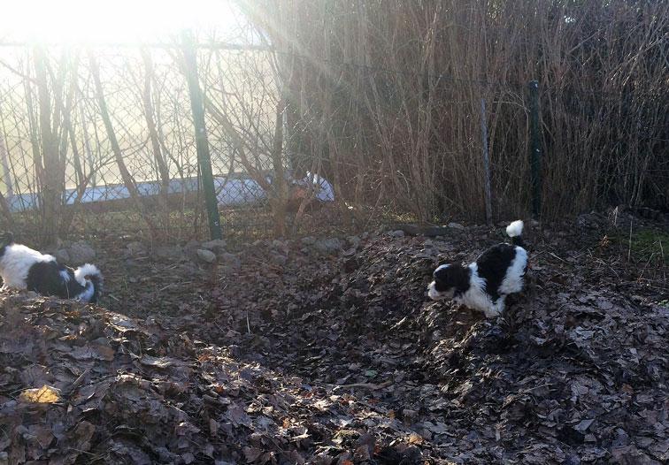 Bichon Havanais puppy valp jagar varandra