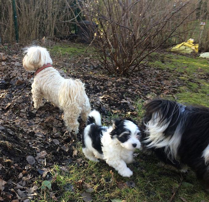 Bichon Havanais puppy valp i trädgården