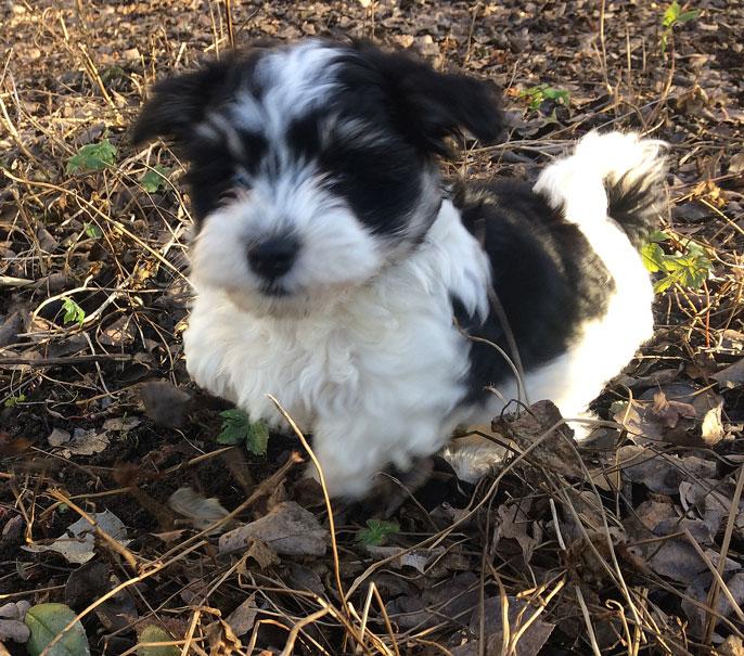 Bichon Havanais puppy valp springer
