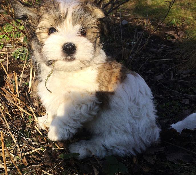 Bichon Havanais puppy valp i solen