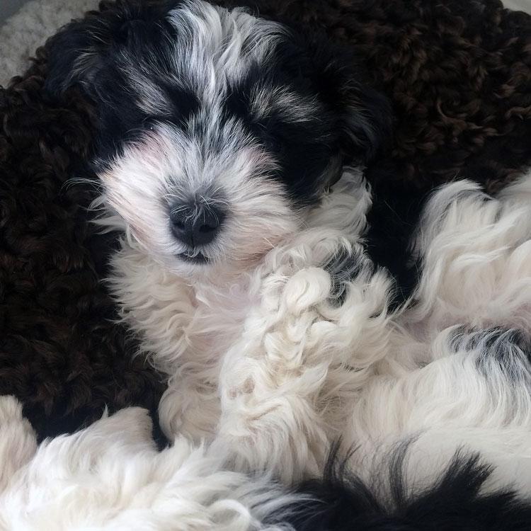 Bichon Havanais puppy valp portrait