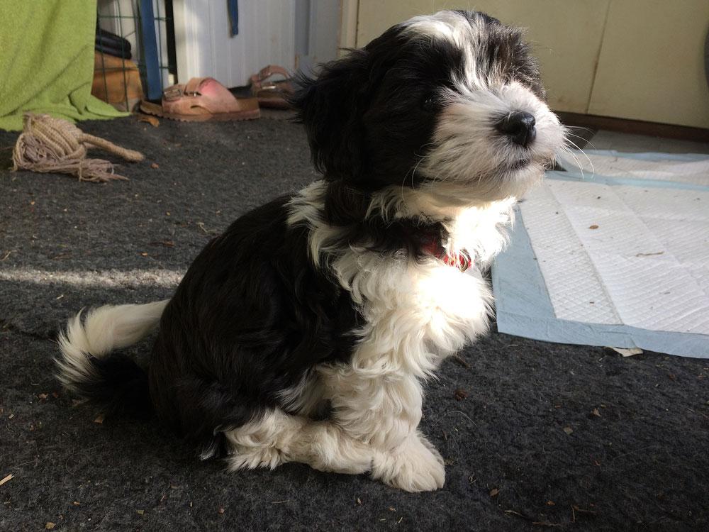 Bichon Havanais puppy valp